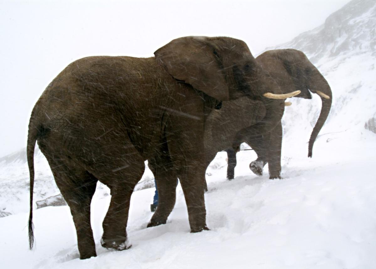 Hannibals Elefanten – Dickhäuter in dünner Gebirgsluft